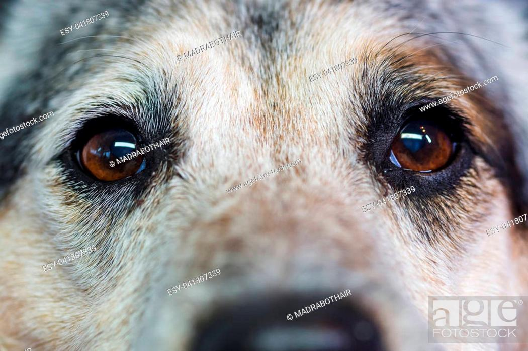 Stock Photo: closeup picture of eyes of an Australian Cattledog.