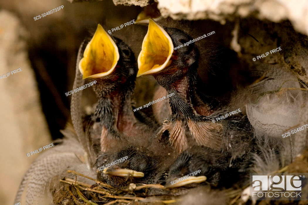 Stock Photo: Swallow Hirundo rustica chicks in nest, begging for food Loch Awe, nr Oban, Scotland, UK.