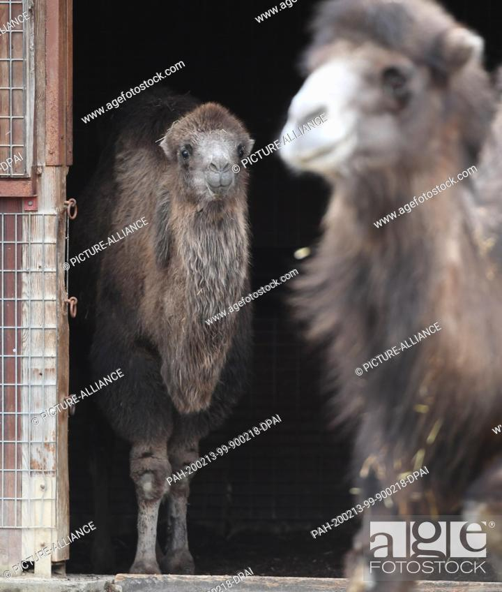"""Stock Photo: 13 February 2020, Hessen, Frankfurt/Main: The almost one year old Bactrian camel mare """"""""Arya"""""""" (l) looks out of the stable next to the 18 year old """"""""Hira"""""""" in."""