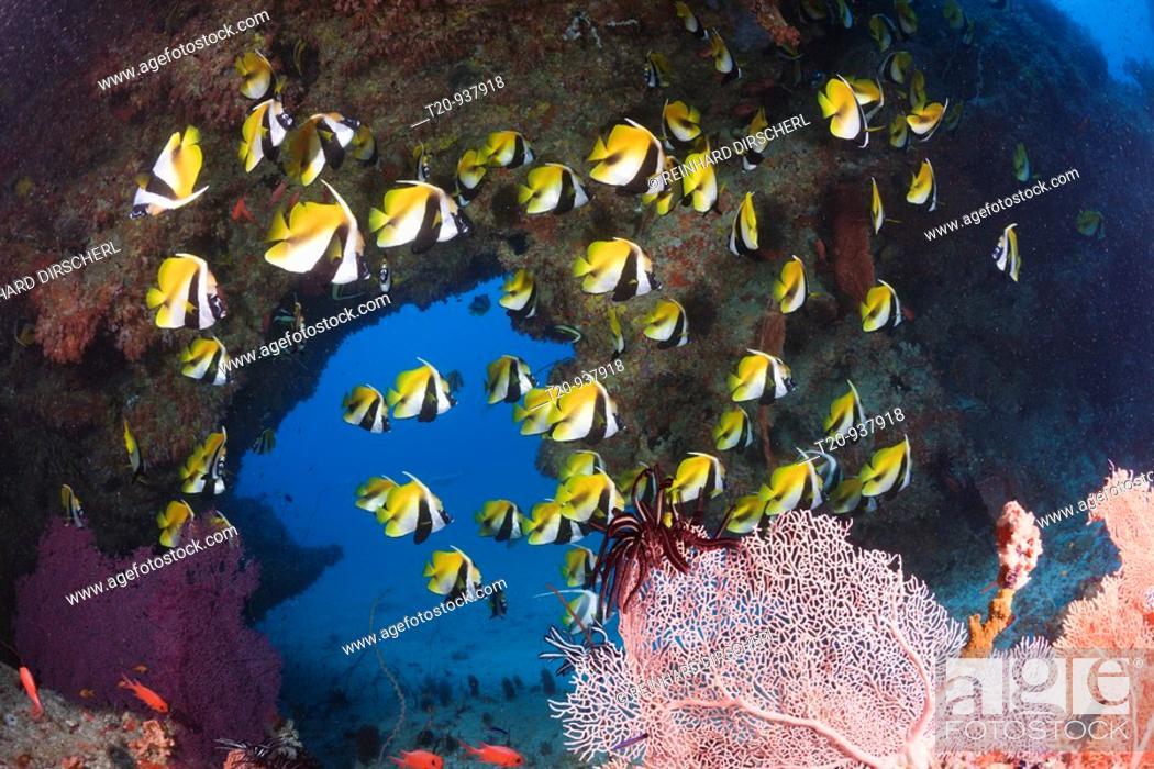 Stock Photo: Masked Bannerfish, Heniochus monoceros, Himendhoo Thila, North Ari Atoll, Maldives.