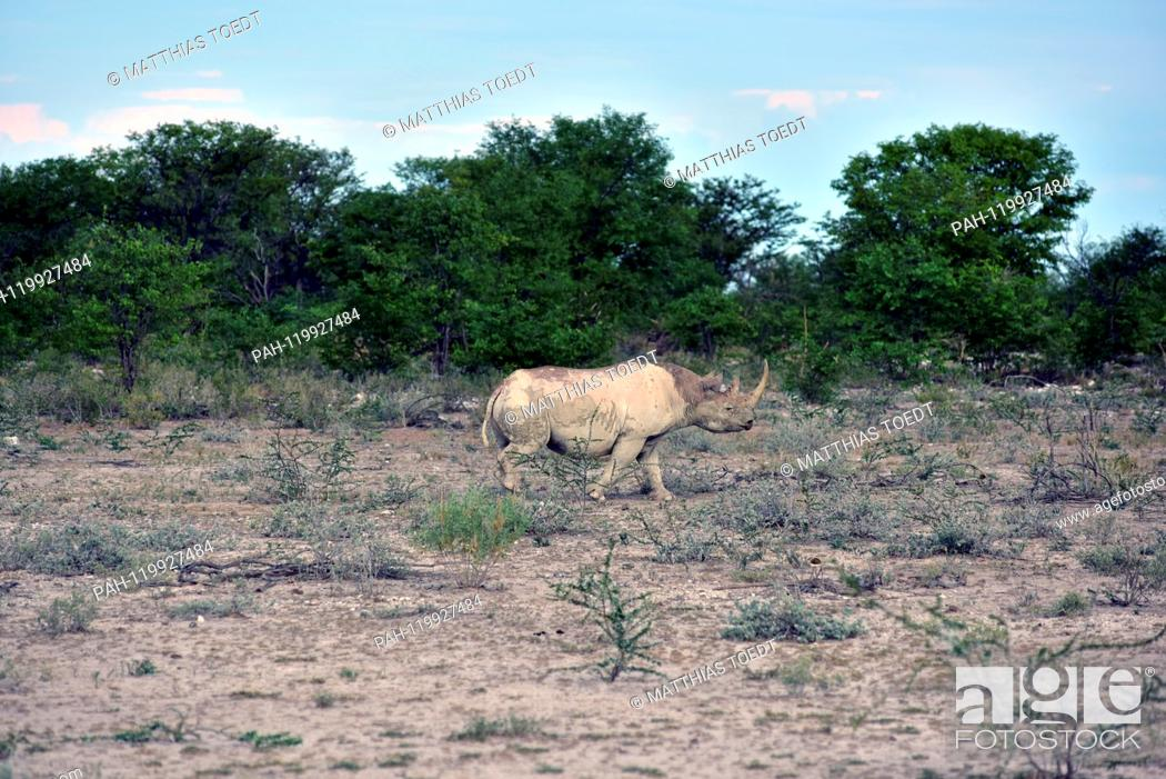 Stock Photo: Black Rhinoceros in the Etosha National Park, taken on 05.03.2019. The Black Rhinoceros (Diceros bicornis) is an open savannah and the second largest rhinoceros.