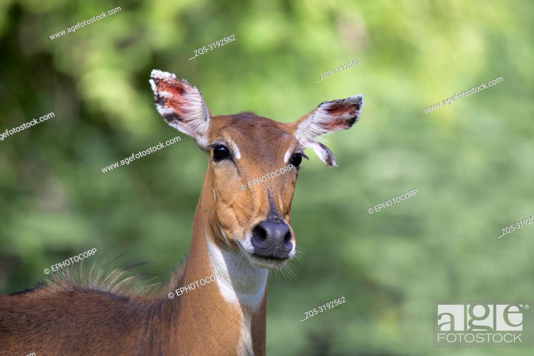 Stock Photo: Blue Bull female, Boselaphus tragocamelus, close-up Jhalana, Rajasthan, India.