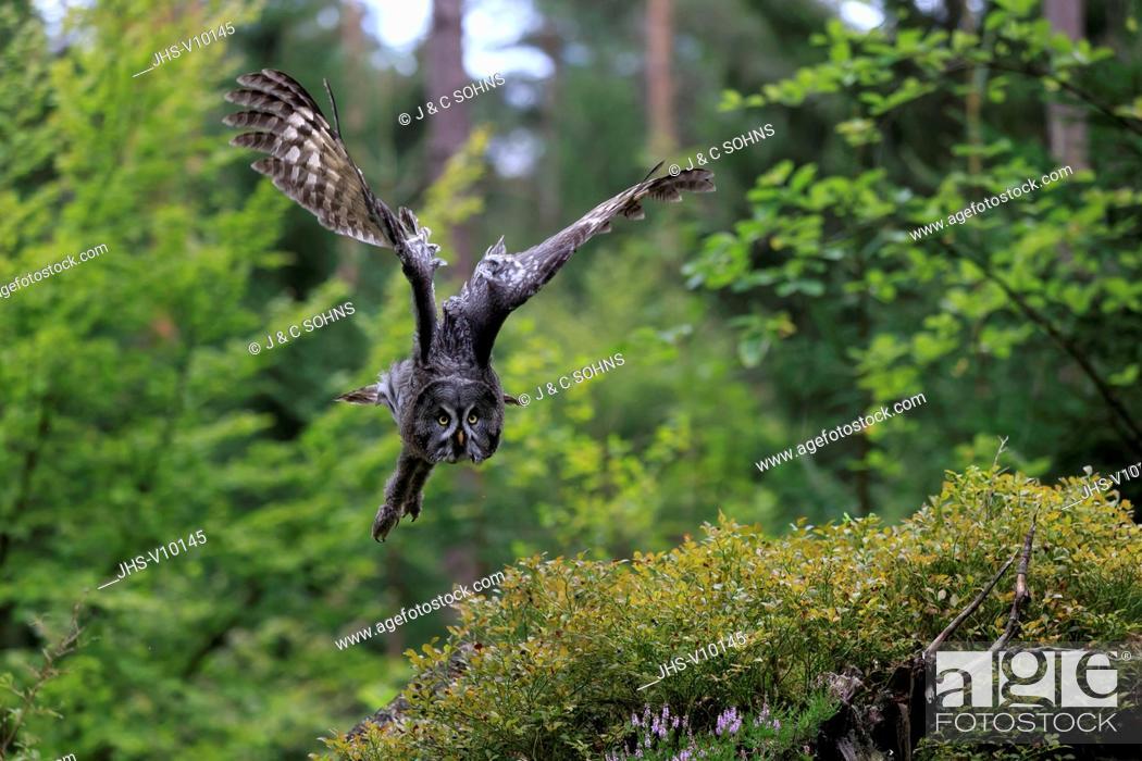 Stock Photo: Great Grey Owl, (Strix nebulosa), adult flying, Pelm, Kasselburg, Eifel, Germany, Europe.