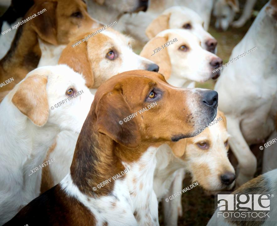 Stock Photo: Dogs of the New Forest Hounds.