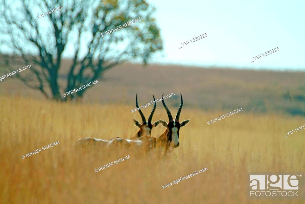 Stock Photo: Blesboks. Reddish brown colour, pale rown buttock patch and white blaze on face Found on the plains of South Africa Free State.