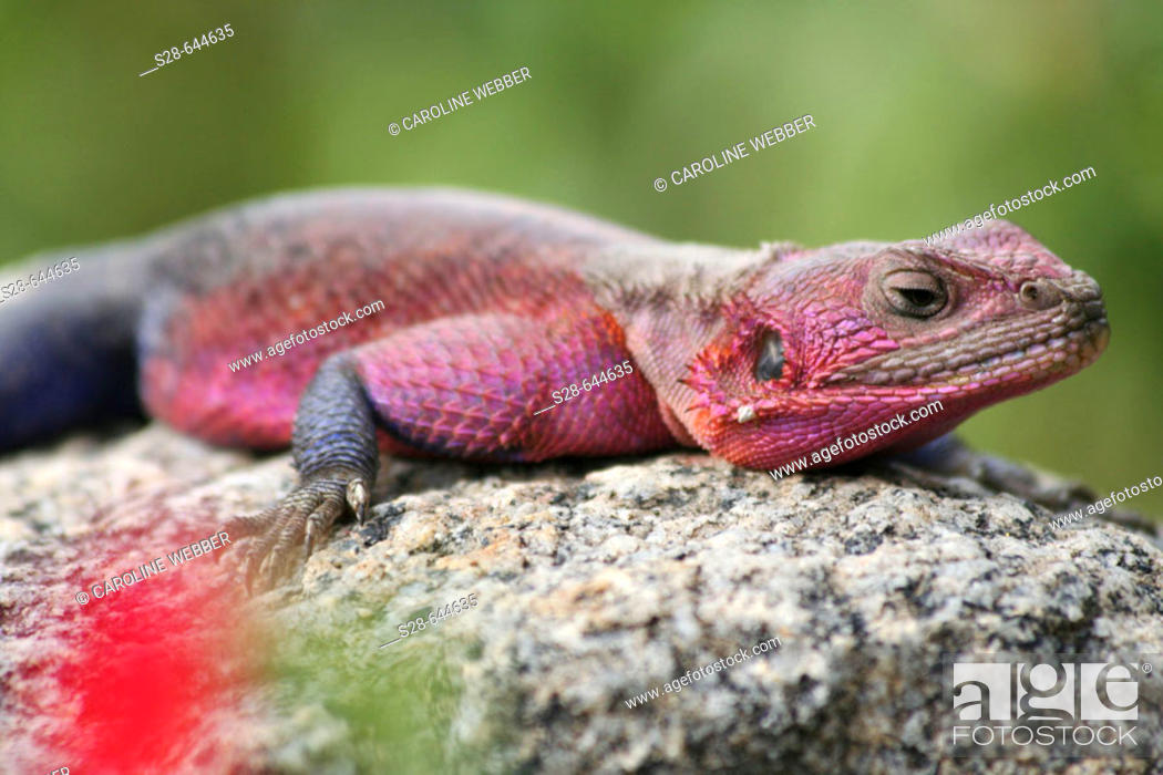 Stock Photo: Agama Lizard in Tanzania.