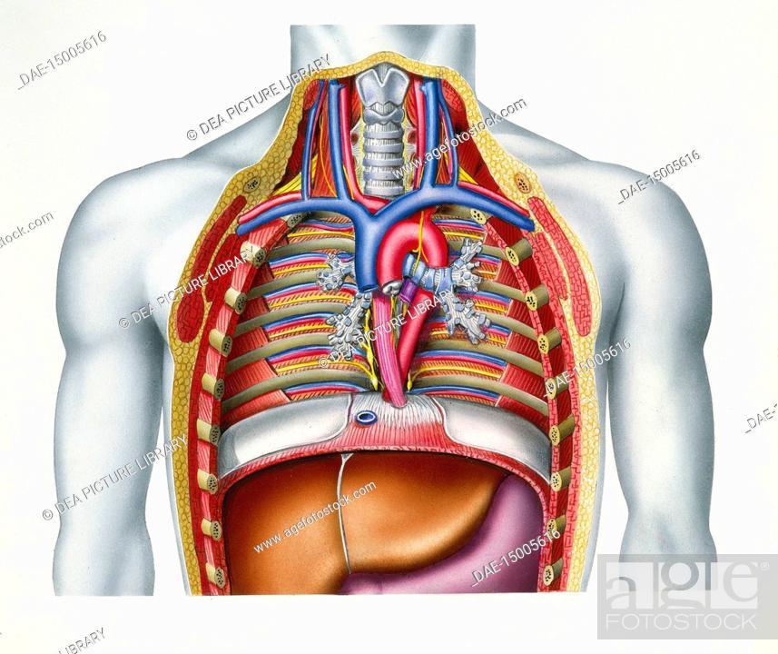 Medicine Human Anatomy Thorax Or Chest Mediastinum Showing