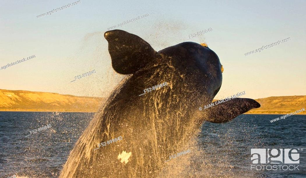 Imagen: Southern Right Whale (Eubalaena australis) breaching, Puerto Piramides, Peninsula Valdes, Patagonia, Argentina.