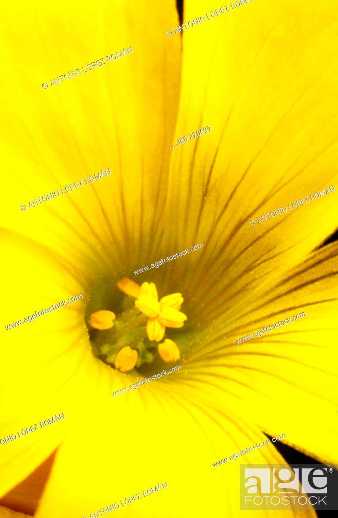 Stock Photo: Bermuda Buttercup (Oxalis pres-caprae).