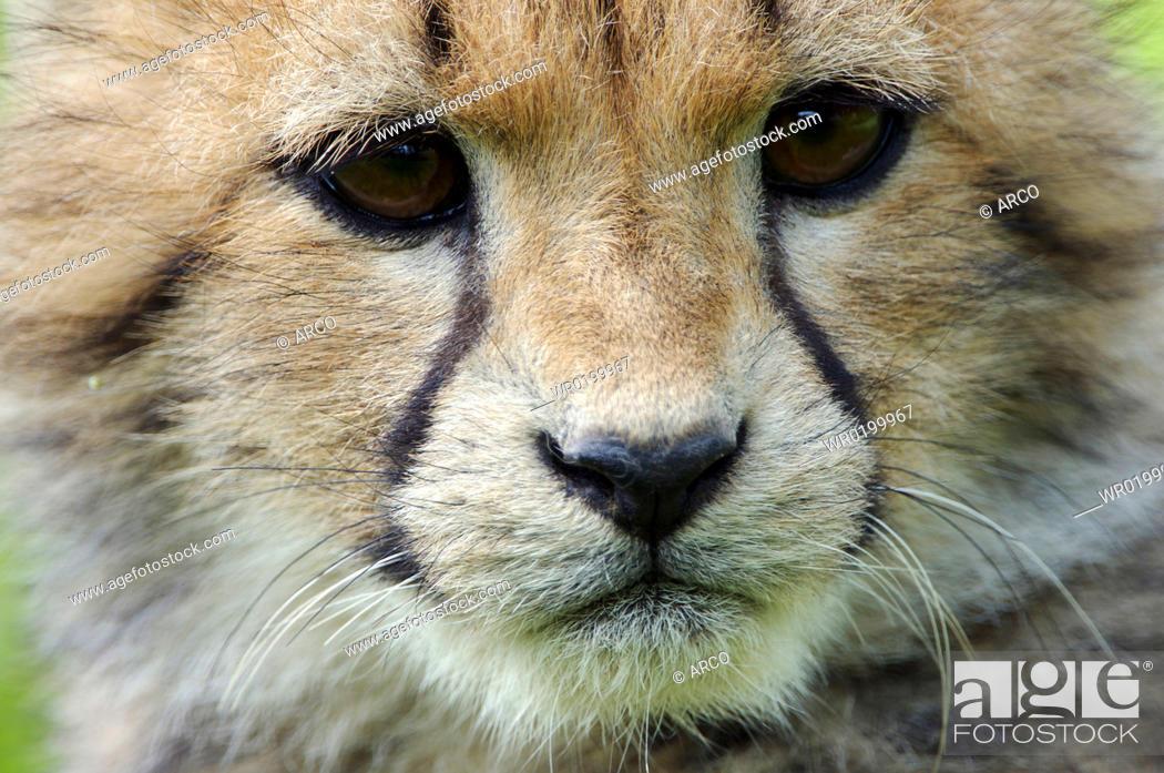 Stock Photo: Cheetah, cub, Acinonyx, jubatus.