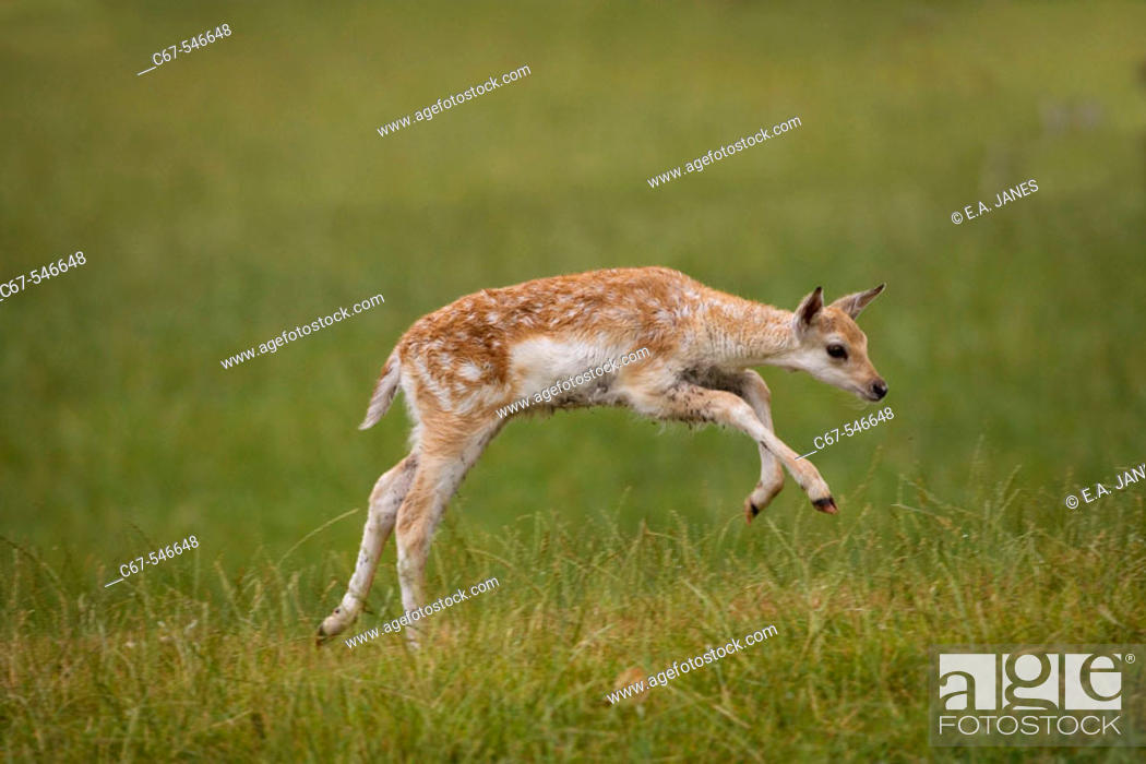 Stock Photo: Fallow Deer (Dama dama). Fawn running.