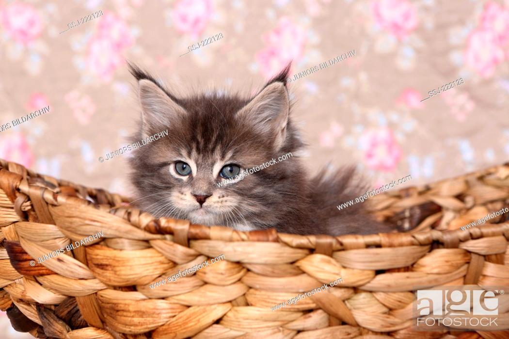 Stock Photo: American Longhair, Maine Coon. Kitten (6 weeks old) sitting a basket. Studio picture against a floral design wallpaper.
