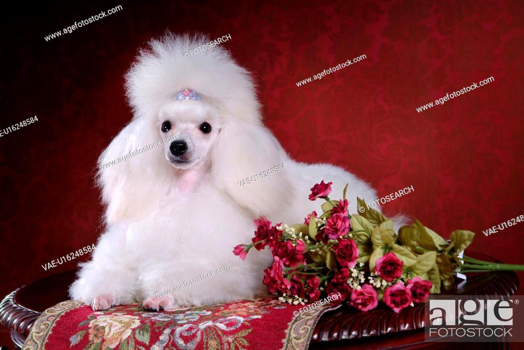 Stock Photo: posed, domestic, pose, house pet, canines, poodle.