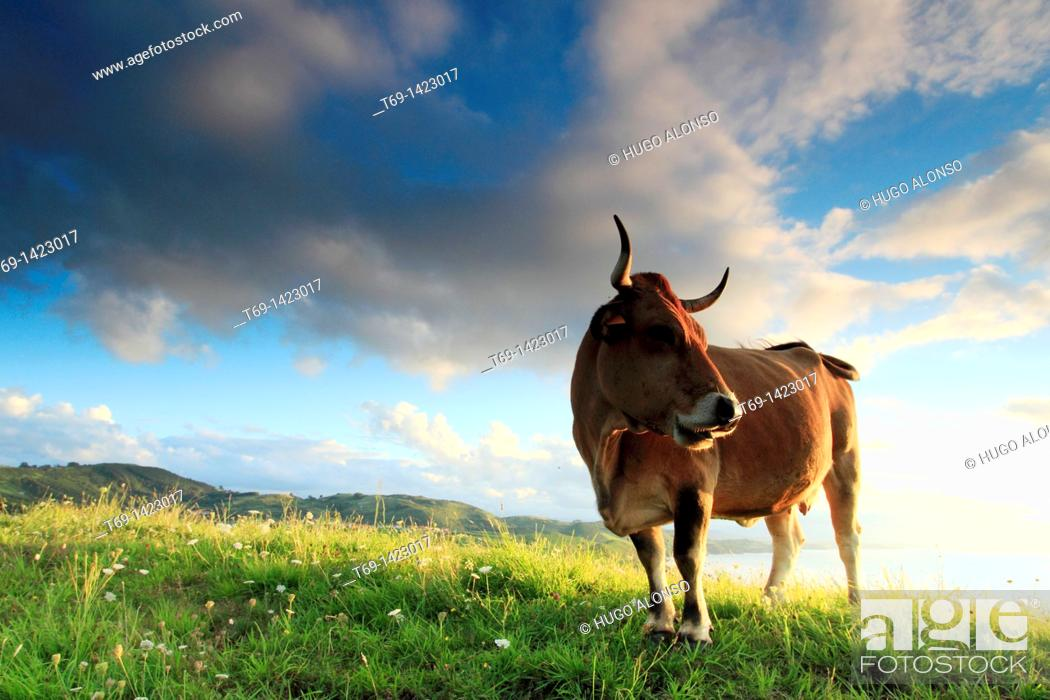 Stock Photo: Cows in the grassland, Cantabria, Spain.