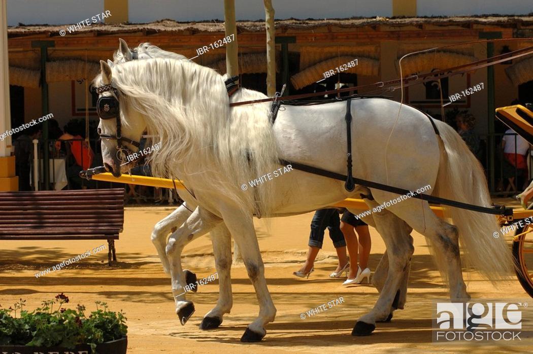 Stock Photo: Horse , Feria de Caballo , Jerez de la Frontera , Cadiz , Andalusia , Spain , Europe.