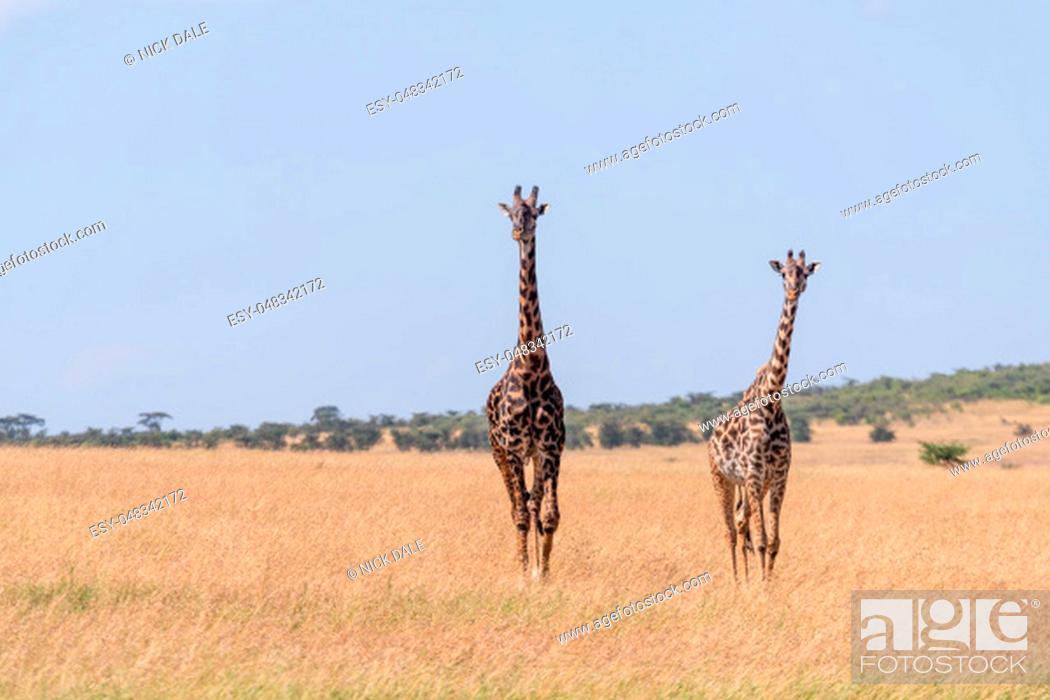 Stock Photo: Two Masai giraffe walking in long grass.