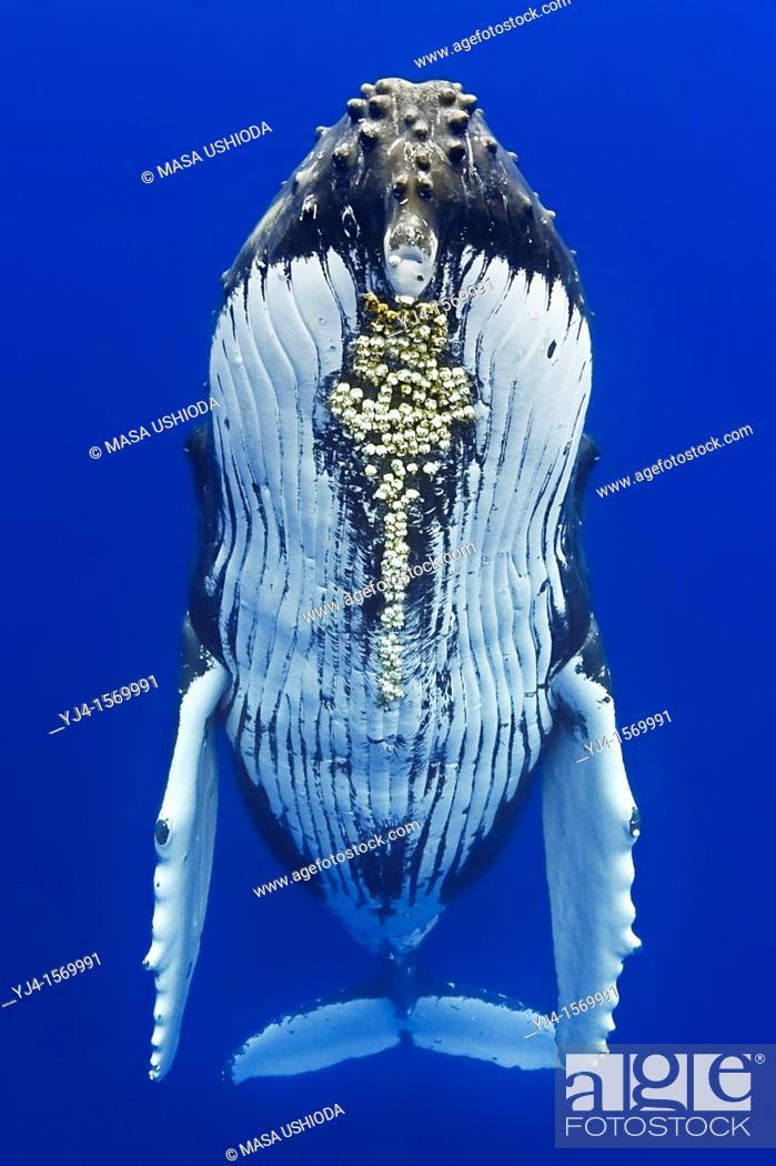 Stock Photo: humpback whale, Megaptera novaeangliae, with parasitic acorn barnacles attached under chin, Cornula diaderma, Hawaii, USA, Pacific Ocean.