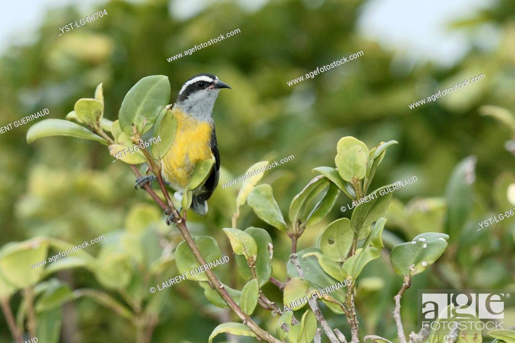 Stock Photo: Bird, Cambacica, Bananaquit, Ilha do Mel, Encantadas, Paraná, Brazil.