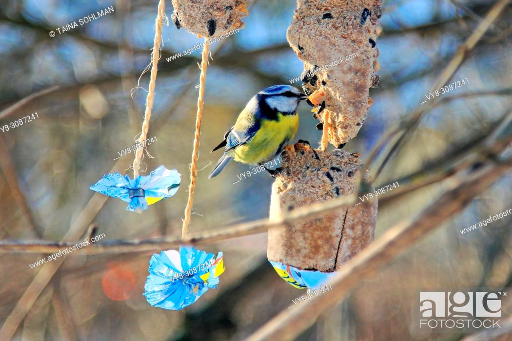 Stock Photo: Eurasian blue tit, Cyanistes caeruleus, is eating suet and seeds from bird feeder in winter. Kaivopuisto Park, Helsinki, Finland.