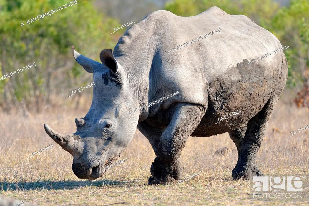Stock Photo: White rhinoceros (Ceratotherium simum), walking after a mud bath, Kruger National Park, South Africa, Africa.
