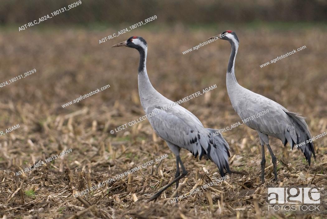 Stock Photo: Common Crane perched in field, Common Crane, Grus grus.