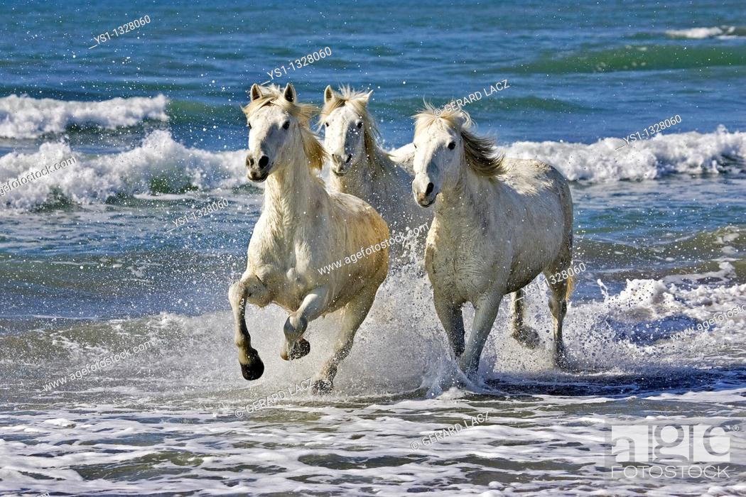 Stock Photo: CAMARGUE HORSE, HERD GALLOPING ON BEACH, SAINTES MARIE DE LA MER IN THE SOUTH OF FRANCE.