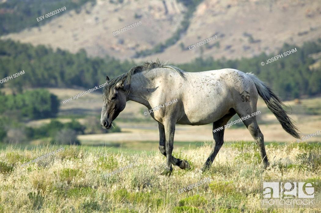 Stock Photo: Black Hills Wild Horse Sanctuary, home to Americas largest wild horse herd, Hot Springs, South Dakota.