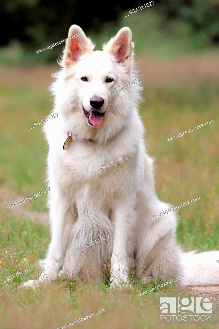 Stock Photo: Berger Blanc Suisse. Adult sitting on a meadow. Germany.