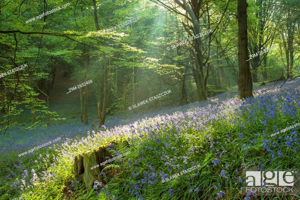 Imagen: Shafts of light in a bluebell woodland near Horsham, West Sussex, England.