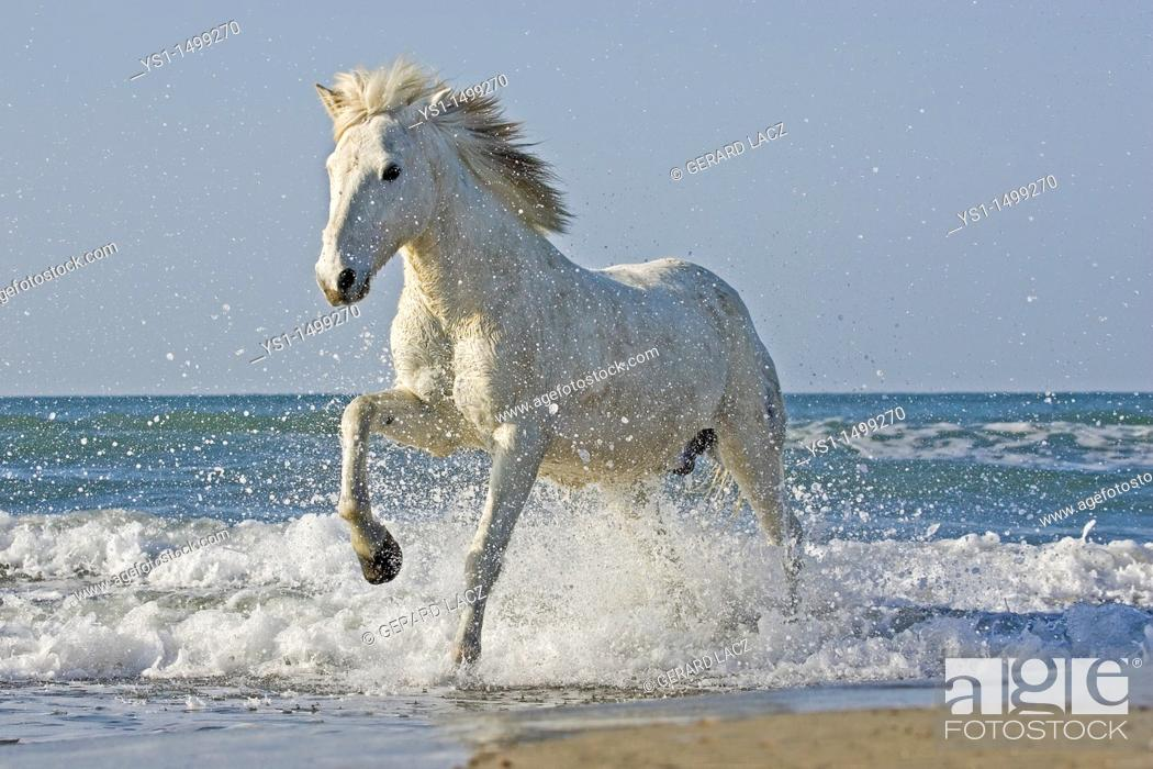Stock Photo: Camargue Horse Galloping on the Beach, Saintes Marie de la Mer in the South of France.