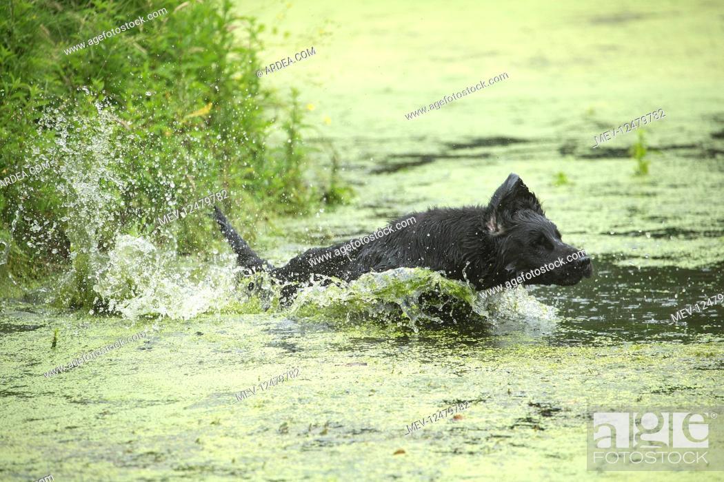 Stock Photo: Flat coated retriever dog outdoors.