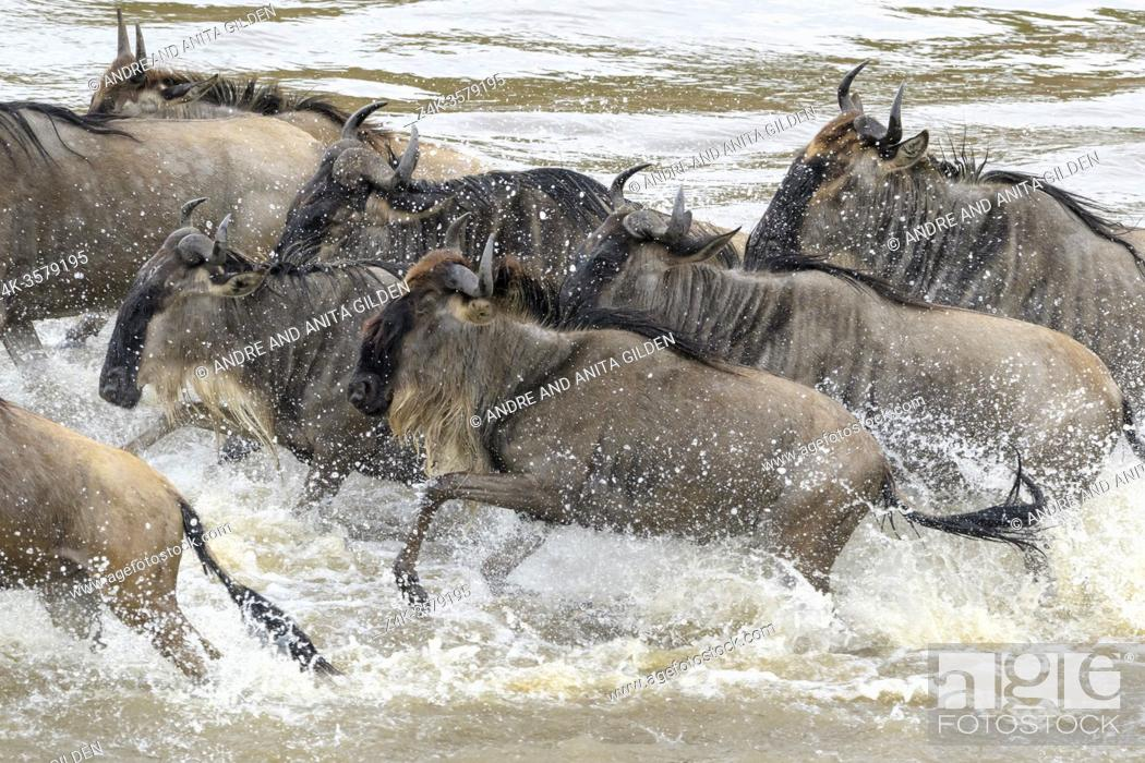 Stock Photo: Blue wildebeest, brindled gnu (Connochaetes taurinus) crossing the Mara river during the great migration, Serengeti national park, Tanzania.