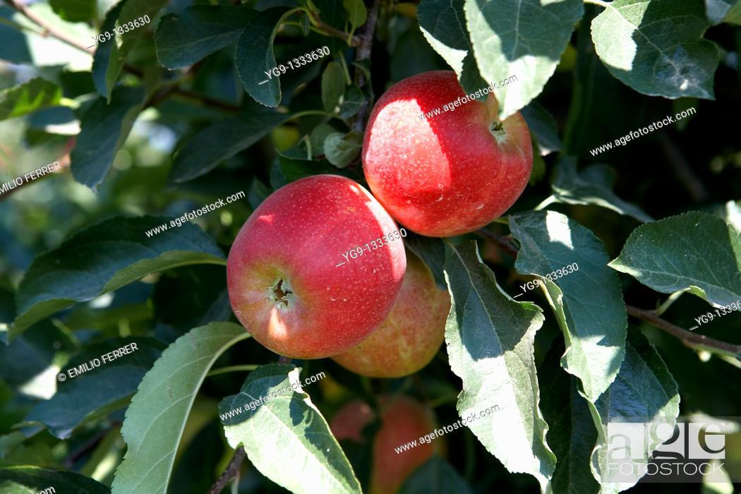 Stock Photo: Apple Mundial Gala on a tree  LLeida  Spain.