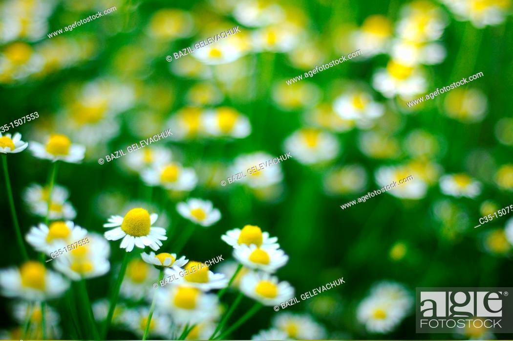 Stock Photo: Field camomile.