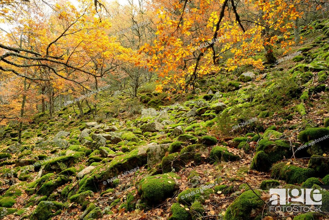 Imagen: Wood of Canencia area in autumn, Madrid province, Spain.