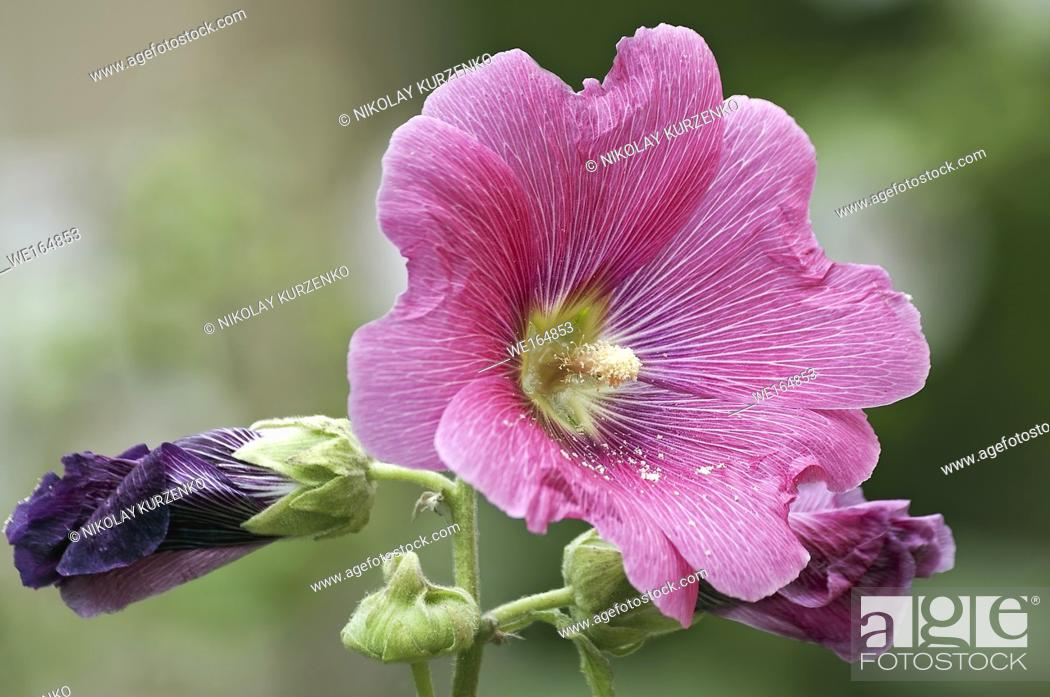Stock Photo: Common hollyhock (Alcea rosea).