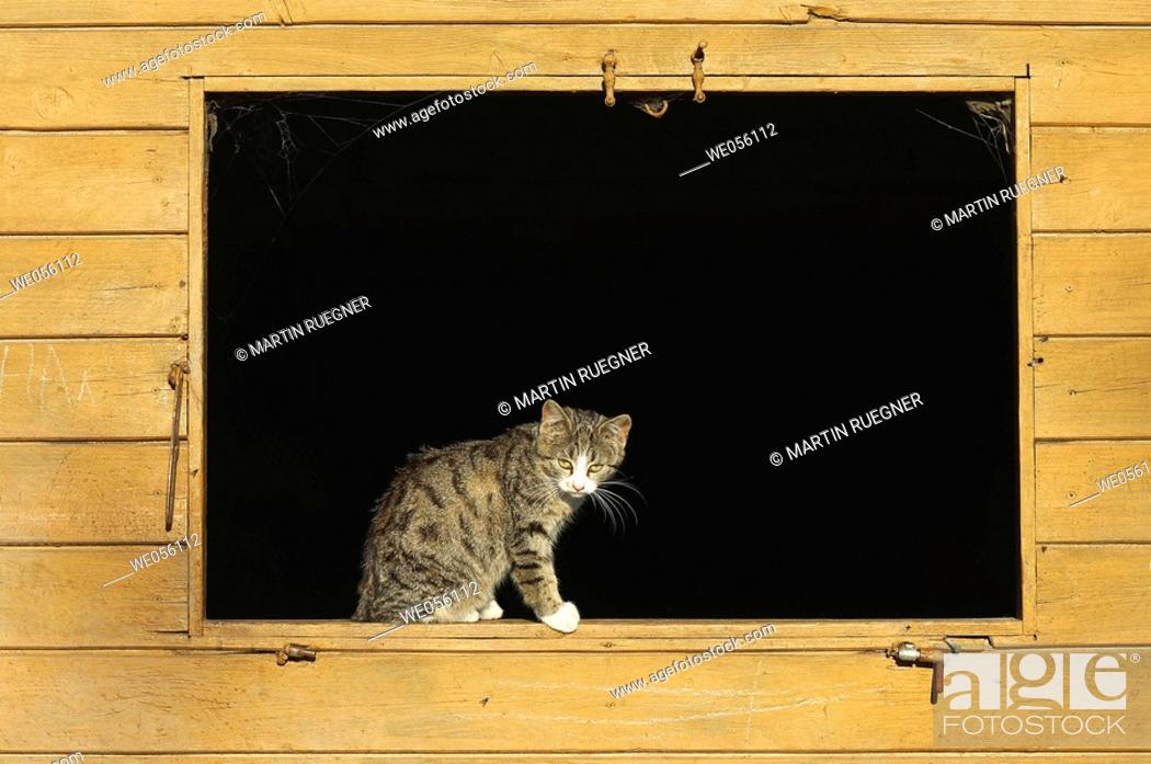 Stock Photo: Domestic cat in window of a cowshed. Bavaria, Germany, Europe.
