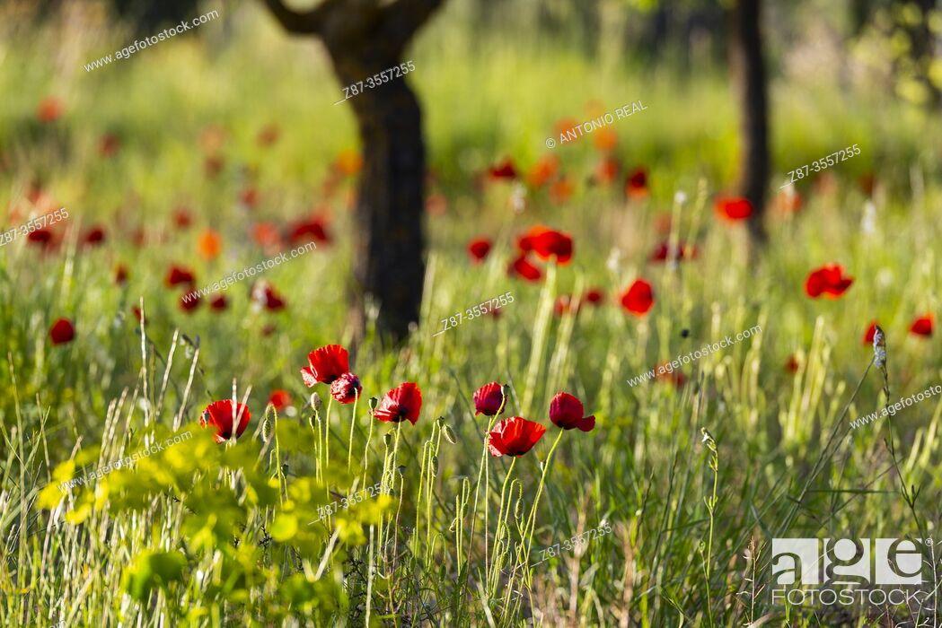 Stock Photo: poppies (Papaver rhoeas), almond trees, Almansa, Albacete province, Castile-La Mancha, Spain.