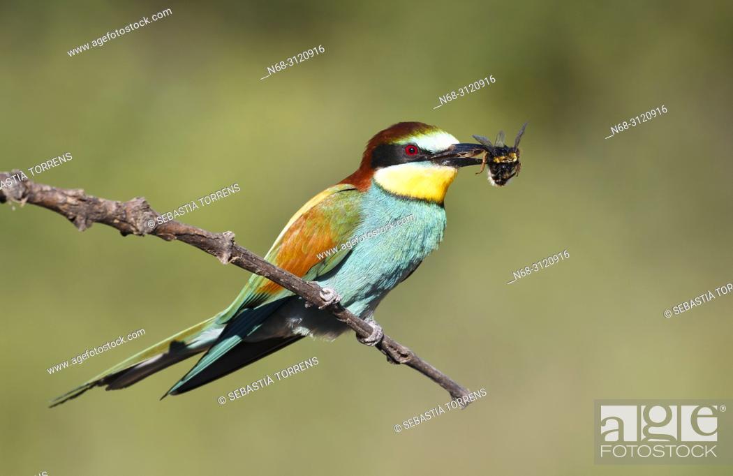 Stock Photo: European bee-eater (Merops apiaster) with prey, Santa Margalida, Majorca, Balearic Islands, Spain.