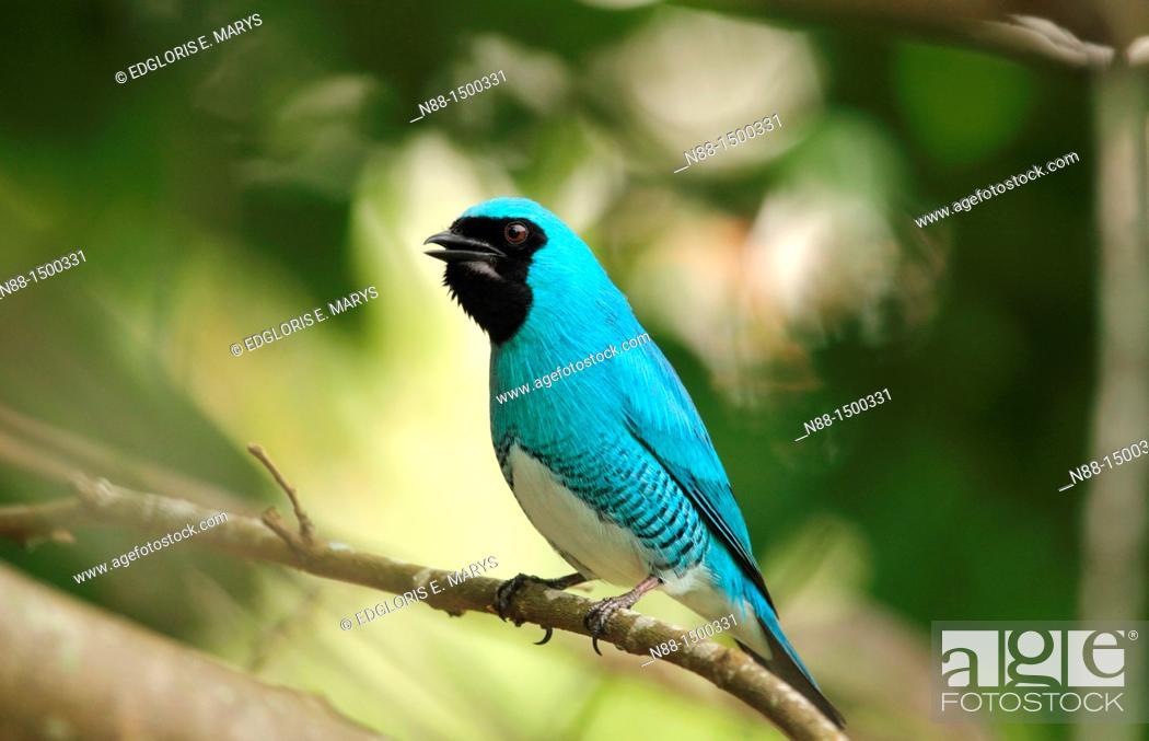 Stock Photo: Swallow Tanager, Tersina viridis occidentalis, Azulejo golondrina, Venezuela.