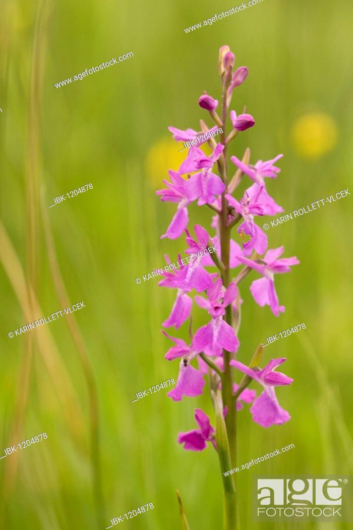 Stock Photo: Orchid species (Anacamptis palustris), Lower Austria, Austria, Europe.