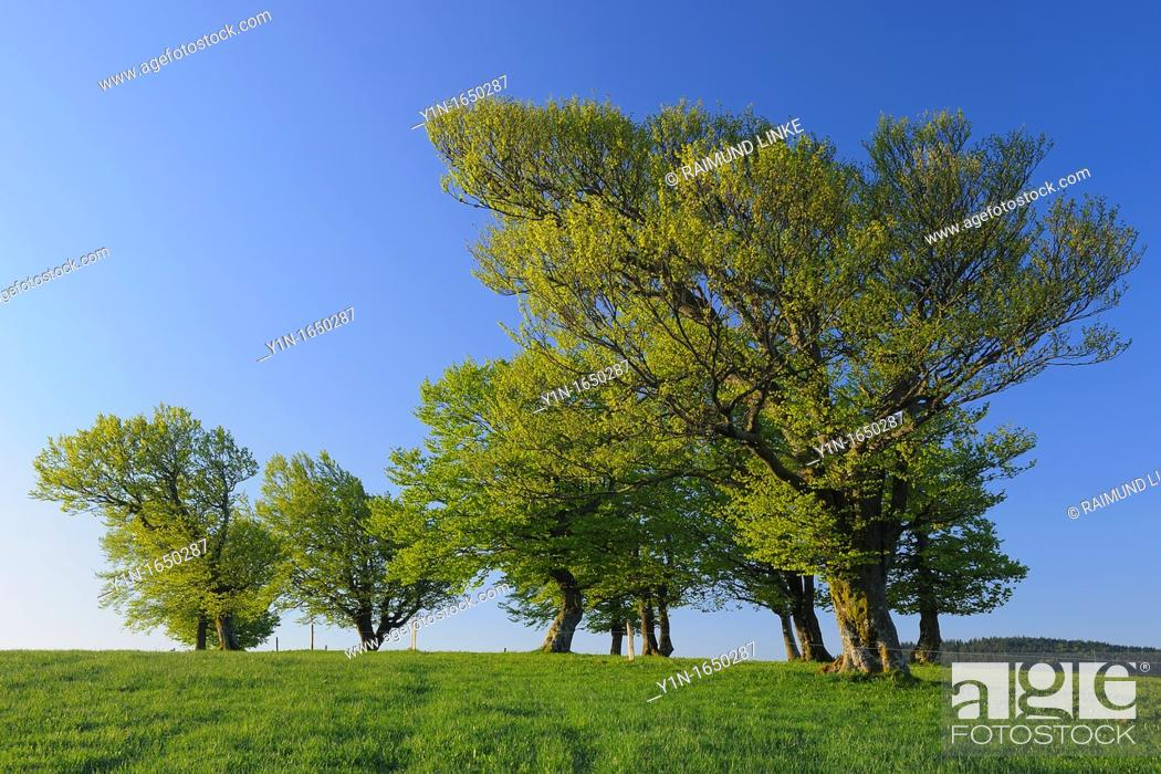 Stock Photo: Beech Tree in Spring, Black Forest, Baden-Wurttemberg, Germany.