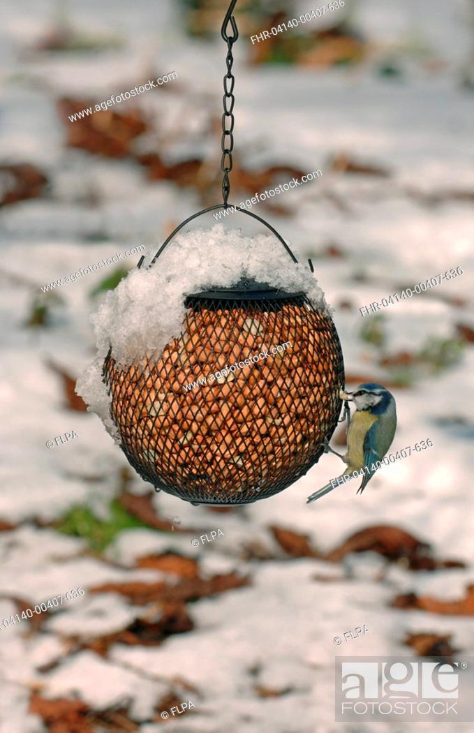 Imagen: Blue Tit Parus caeruleus adult, feeding on snow covered peanut feeder in garden, Merseyside, England, winter.