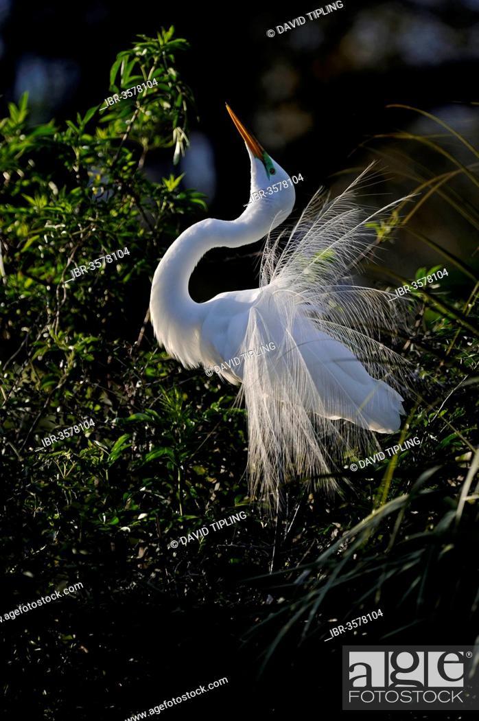 Stock Photo: Great Egret (Ardea alba) displaying, Florida, USA.
