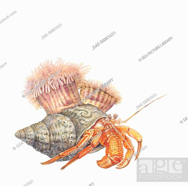 Stock Photo: Zoology - Crustaceans - Eupagurus bernhardus - Coffee painting.