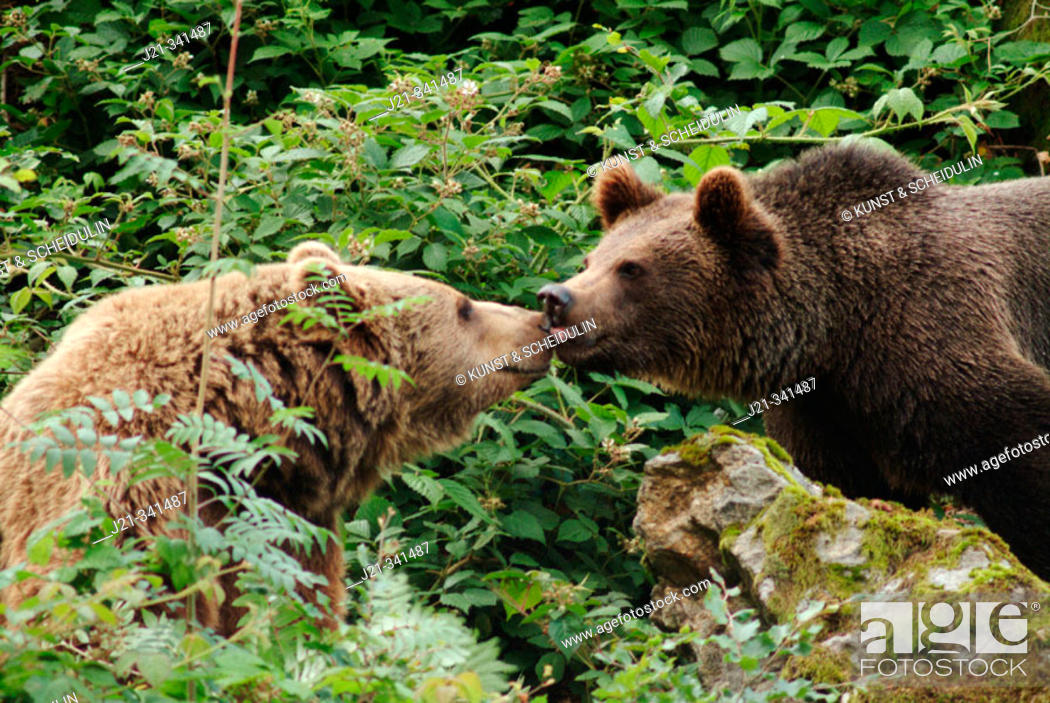 Stock Photo: One and a half years old brown bear cub (Ursus arctos) licking the snout of his mother. Captives. Bavarian Forest National Park. Bavaria. Germany.