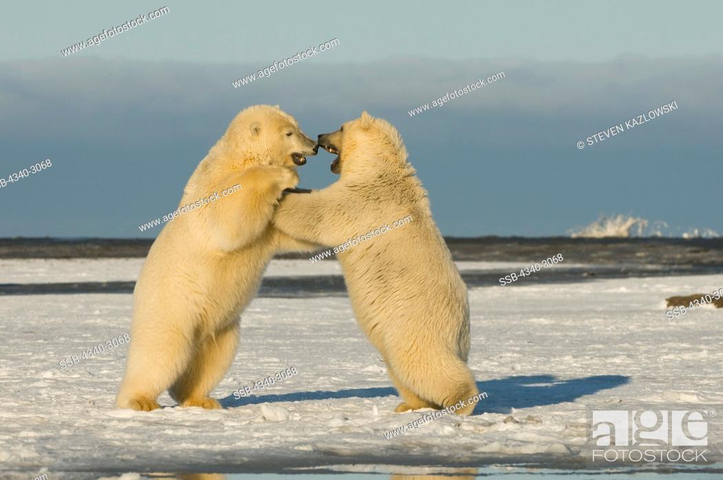 Stock Photo: USA, Alaska, Brooks Range, Bernard Spit, Polar bear (Ursus maritimus) pair of subadults engaging in play.
