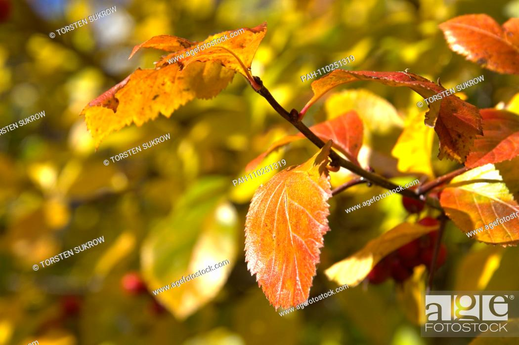 Stock Photo: Detail of a autumn-colored cockerel hawthorn tree (Crataegus crus-galli) in Schleswig. Family: rose plants (Rosaceae), subfamily: Spiraeoideae, tribe: pyreae.
