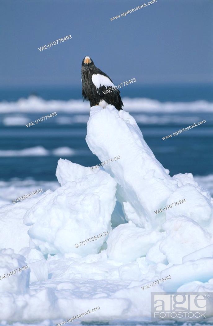 Stock Photo: Steller'S Sea Eagle.
