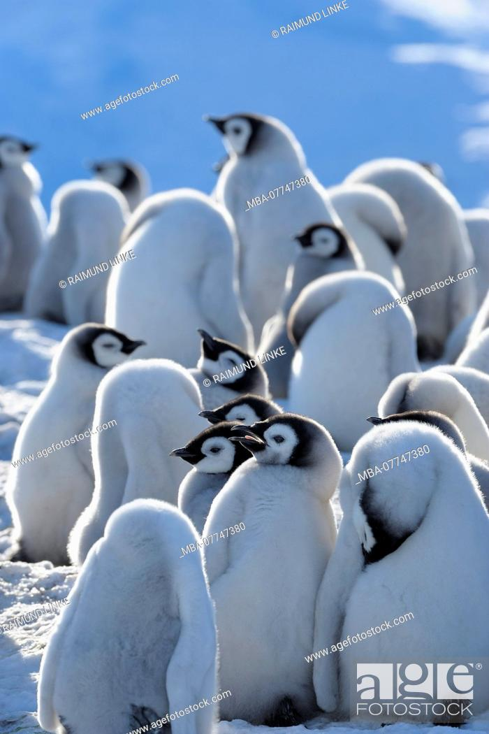 Imagen: Emperor penguins, Aptenodytes forsteri, Group of Chicks, Snow Hill Island, Antartic Peninsula, Antarctica.